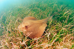 southern stingray, Dasyatis americana, Stiltsville, Biscayne National Park, Miami, Florida, USA, Atlantic Ocean