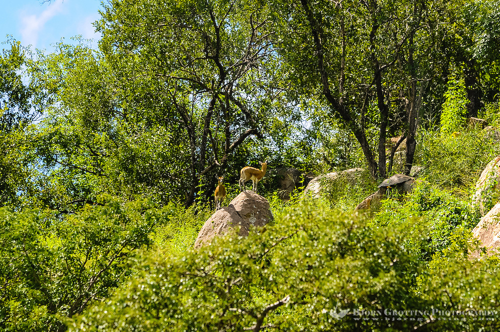 The Klipspringer is a small African antelope. Kruger National Park, South Africa.
