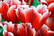 Triumph Tulip 'Talent' Keukenhof Spring Tulip Gardens, Lisse, The Netherlands.