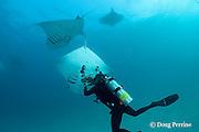 scuba diver photographing manta ray, Manta alfredi (formerly Manta birostris ), barrel roll feeding on plankton, Hanifaru Bay, Baa Atoll, Maldives ( Indian Ocean )