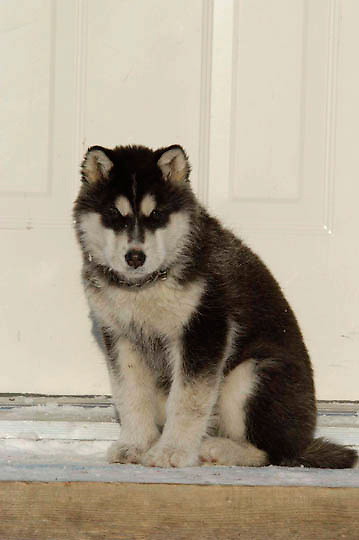 Husky puppy resting on door step of Watchee Lodge in sub freezing temperature's near Wapusk National Park, Manitoba Canada.