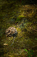 A toad silently sitting in a ray of sunshine on the forest floor.