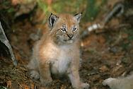 Eurasian Lynx, Lynx lynx, captive, Langedrag, Norway