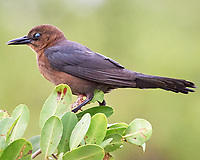 Female Boat-tailed Grackle (Quiscalus major). Black Point Wildlife Drive. Merritt Island National Wildlife Refuge. Image taken with a Nikon D3 camera and 70-200 mm f/2.8 VR lens.