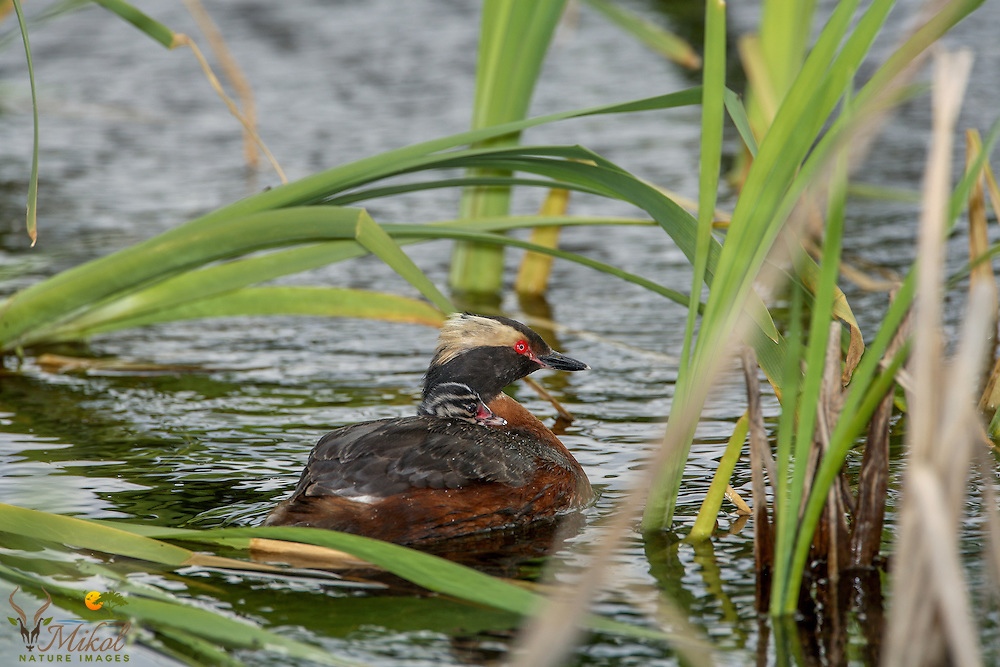 Horned Grebe with Chick on back in reeds