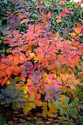 Cotinus 'Grace' - Smokewood, Smoke bush