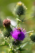 Honey bee, Apis, gathering nectar from thistle flower in  garden in The Cotswolds, England, United Kingdom