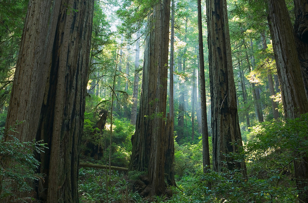 Sunlight through forest of Redwood trees Redwoods National Park Northern California Coast USA.