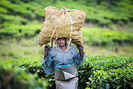 Tea pickers on a tea estate in the plantations near Munnar in the Western Ghats Mountains, Kerala, India