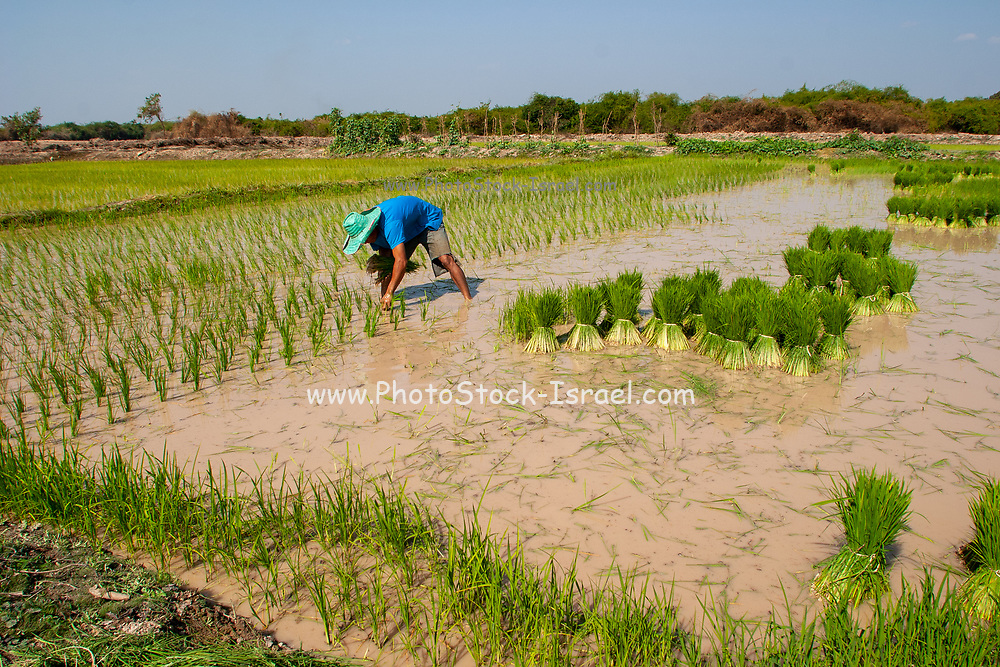 Thai man works in a rice paddy. Photographed in rural Thailand