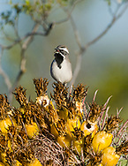 A Black-throated Sparrow (Amphispiza bilineata) male singing from a perch on the fruits of a Fishhook Barrel Cactus (Ferocactus wislizeni) in the Sonoran Desert (Arizona)