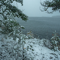 Snow covered white pines lean over Lake of the Woods, Ontario, Canada.