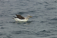 Grey-headed Albatross (Thalassarche chrysostoma) bathing in the water.<br />Elsehul, South Georgia