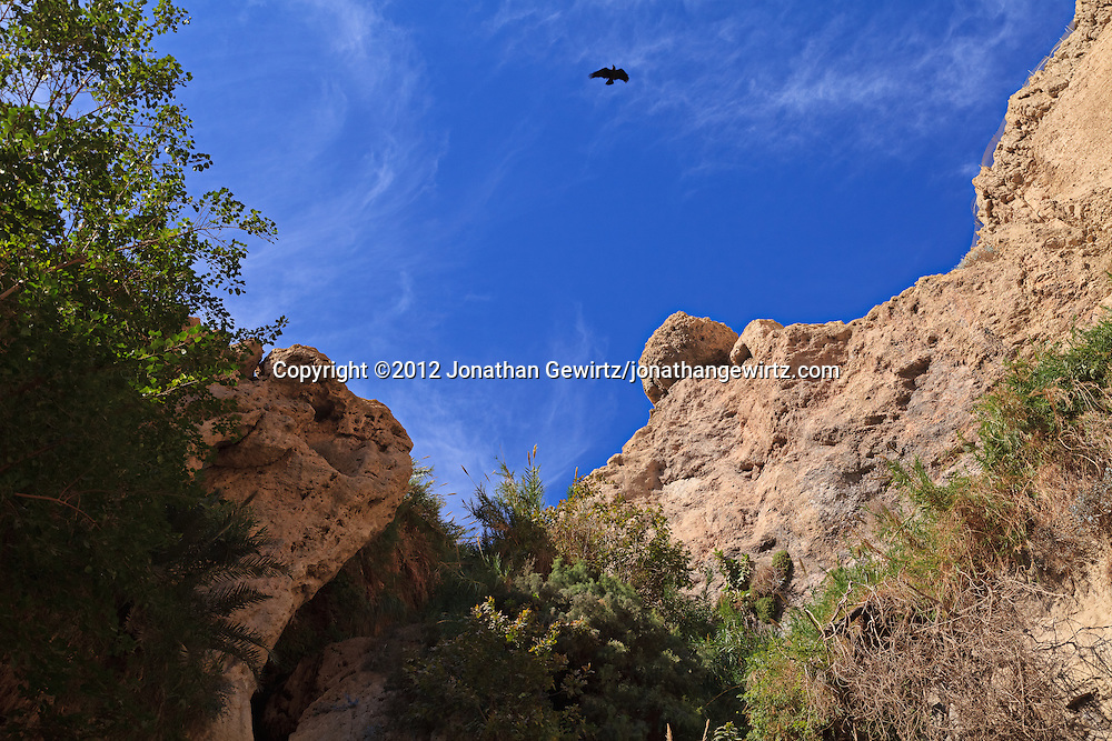 A raven flies over Nahal David canyon near the David Waterfall in the Ein Gedi nature preserve. WATERMARKS WILL NOT APPEAR ON PRINTS OR LICENSED IMAGES.