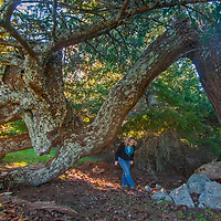 A hiker walks through a gnarled conifer that has withstood high winds and a lightning strike on the western slopes of Mount Tamalpais in the California Bay Area.