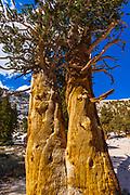 Foxtail Pine (Pinus balfouriana) at Muir Lake, John Muir Wilderness, California USA