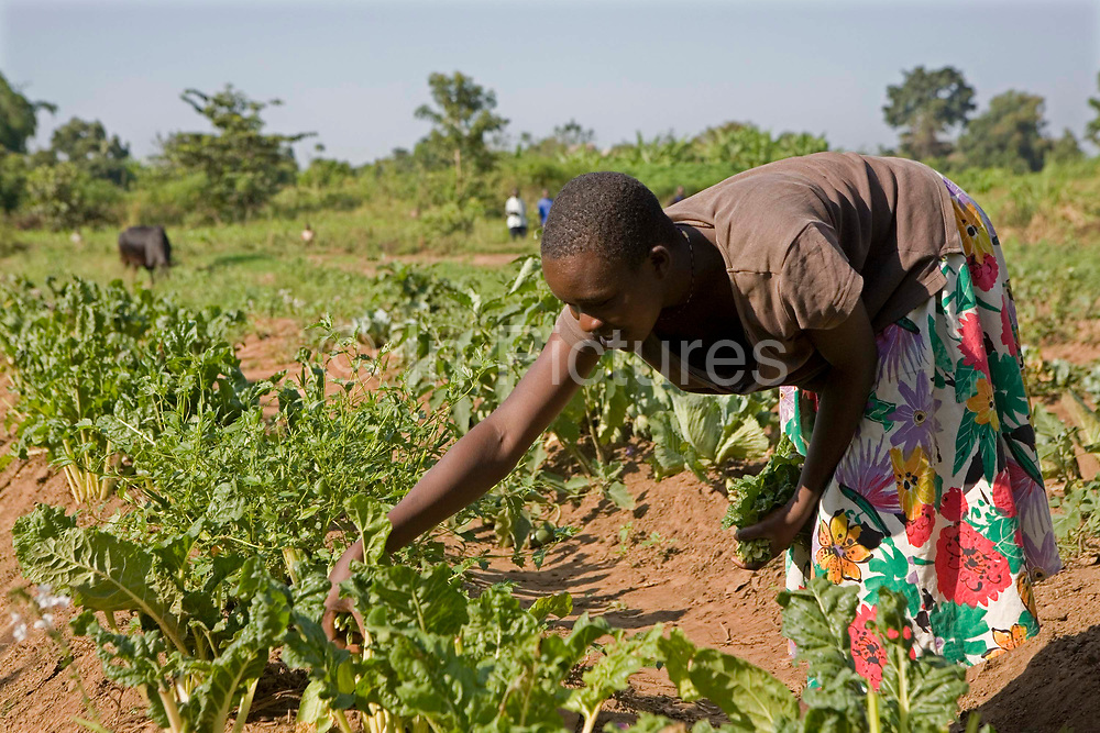 A female farmer tending to her crops in the Pallisa district of Uganda. This farm, owned by Francis Okiru joined the Kulika project in 2003 and gained training in sustainable organic agriculture.