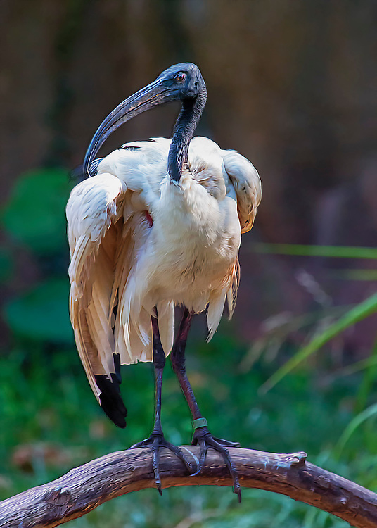 """The Sacred Ibis (Threskiornis aethiopicus) is a member of the ibis and spoonbill family (Threskiornithidae). Birds in this family are wading birds with long, downward-curved bills that they use to probe in mud or grass for invertebrates and other prey. Sacred Ibises are larger than Florida's native ibises. <br /> <br /> They have very distinctive long, black feathers or plumes on their rumps. During the breeding season the feathers on the sides of their chests and on the outer wings (near the edge when folded) may have a yellowish (or reddish) tinge, and their lower legs may be tinged with reddish-copper; bare patches of scarlet-red skin may also be visible under their wings. The heads and necks of young Sacred Ibises are covered with black and white feathers, giving the head and neck a mottled appearance.<br /> <br /> Sacred Ibises look very similar to the native Wood Stork (Mycteria americana), a member of the stork family (Ciconiidae) that is federally listed as an endangered species.<br /> <br /> Sacred Ibises are native to sub-Saharan Africa, the Middle East, and Madagascar; historically, they were also found in Egypt, where they are now extinct. These large birds are often depicted in Egyptian hieroglyphs as the earthly representation of the god Thoth (also shown as an ibis-headed man) and were considered sacred?hence the common name. They are very similar in appearance and so closely related to the Black-headed Ibis (T. melanocephalus) in South Asia and the Australian White Ibis (T. molucca) that many scientists consider the three a """"superspecies,"""" and some believe they may actually all be the same species. In their native range, they inhabit coastal estuaries, lagoons, marshes, and other inland wetlands such as flooded agricultural fields and urban retention ponds."""