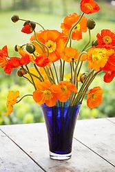 Orange Iceland poppies in a blue vase. Arctic poppy. Papaver nudicaule