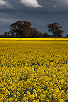 Stormy skies loom above fields of vibrant Canola in bloom in rural Victoria, Australia.