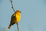 Saffron Finch (Sicalis flaveola)<br /> (mid) Orinoco River, 110 Km north of Puerto Ayacucho. Apure Province, VENEZUELA. South America. <br /> HABITAT & RANGE: Open and semi-open areas in lowlands outside the Amazon Basin. Wide distribution in Colombia, Venezuela, Ecuador, Peru, Brazil and Argentina.