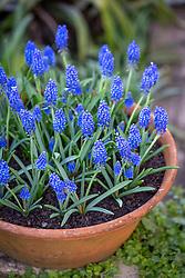 Muscari 'Big Smile' - Grape hyacinth