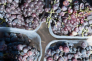 Vineyard. Picked Carignan grapes