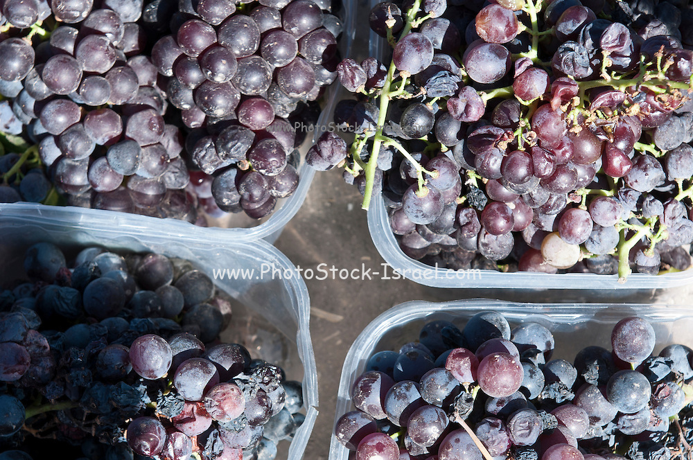 Vineyard. Picked Carignan grapes