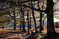 Grove of old Common beech (Fagus sylvatica) trees in late afternoon light. Mehedinti Plateau Geopark, Geoparcul Platoul Mehedinți, Romania.