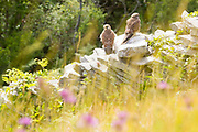 Two members of the resident kestrel family at Durlston.