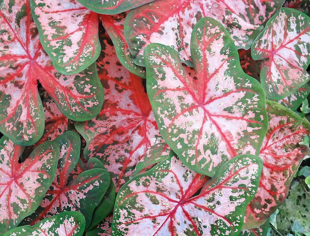 Caladium Plant Close Up
