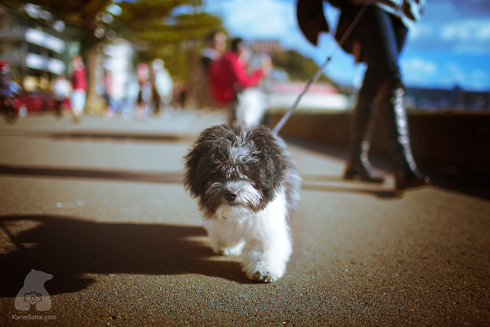 A small fluffy dog and its owner enjoy a stroll along Oriental Parade, Wellington, New Zealand.