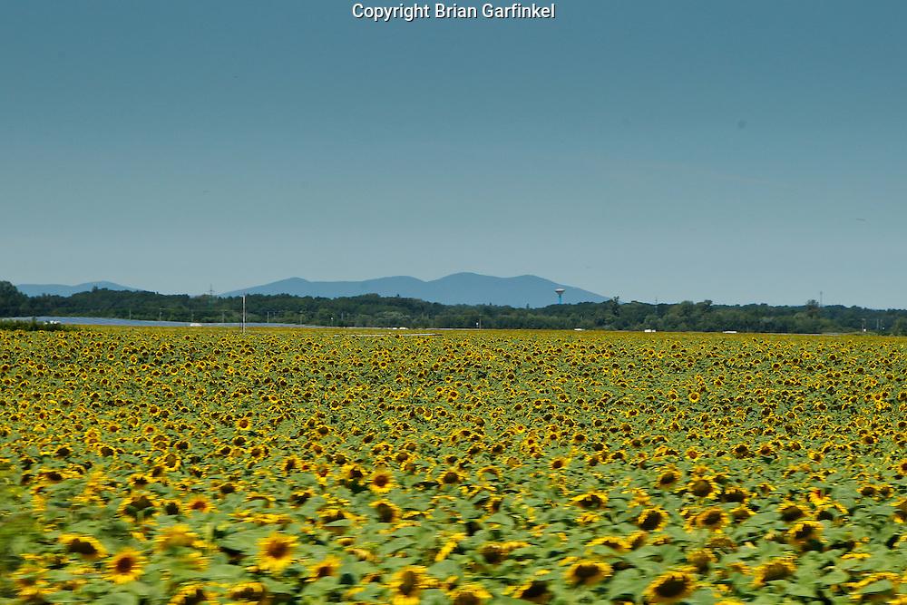 Sunflower fields on the way to Vienna, Austria from Trencin, Slovakia on Sunday, July 10th 2011.  (Photo by Brian Garfinkel)