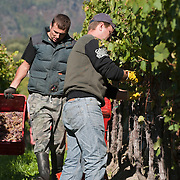 VARNA, ITALY - OCTOBER 13:  Two workers harvest Gewurztraminer grapes at Abbazia di Novacella on October 13, 2010 in Varna, Italy. Abbazia di Novacella, in Alto Adige established in the year 1142 by Augustinian monks, is one of the oldest vineries in the world; it has a production of about 400,000 bottles of world class wines including Kerner, Sylvaner, Pinot Grigio, Gewurztraminer.