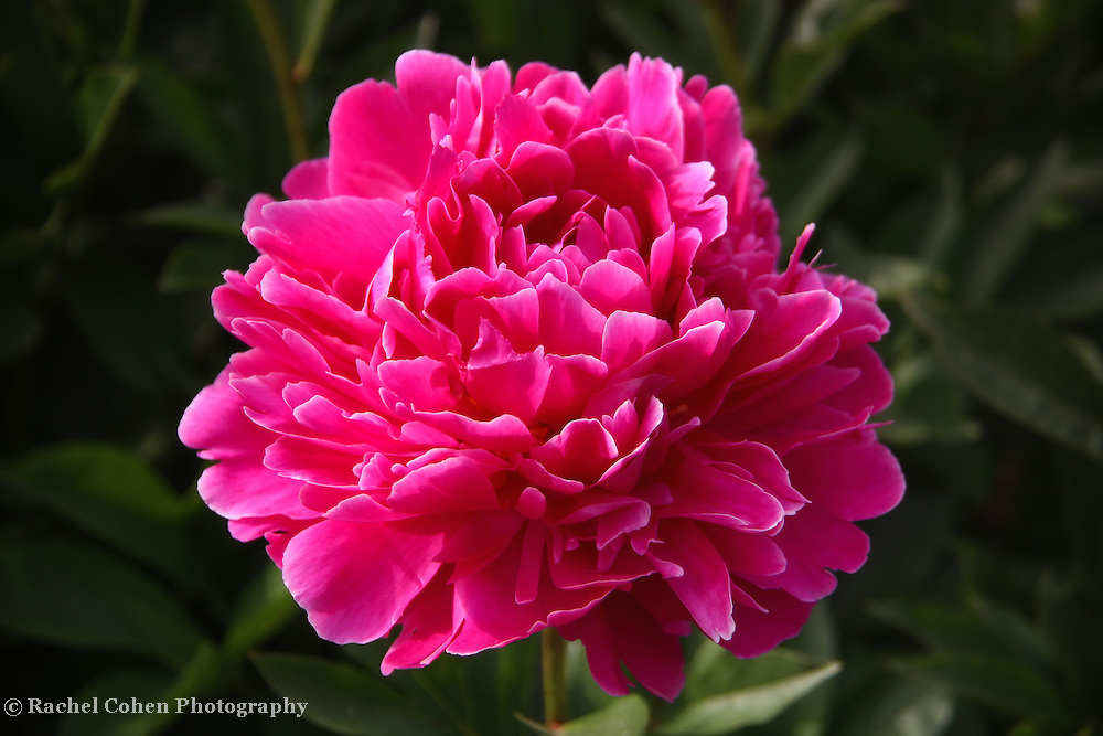 """Peony Flame"" 2<br /> <br /> Wonderful brilliant Peony in fuchsia!!<br /> <br /> Flowers by Rachel Cohen"