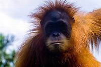 Indonesia, Sumatra. Medan. The old Medan Zoo, now moved to e new location. Orangutan.