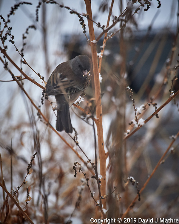 Dark-eyed (Slate colored) Junco? Image taken with a Nikon D5 camera and 600 mm f/4 VRII lens (ISO 1600, 600 mm, f/4, 1/400 sec).