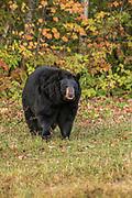 Black Bear, Ursus americanus, Captive, Minnesota, USA