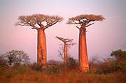 Baobab trees beside road {Adansonia grandidieri} Morondava, Madagascar