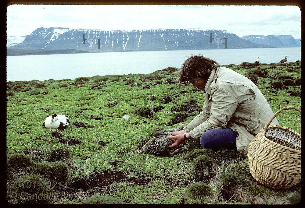 Bjarni Baldursson of Vigur Island's family lifts eider duck off nest to harvest down in June. Iceland
