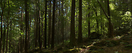 Irish Woodland and sunlight can paint a wonderful picture when the sun is at the right angle and the wind is low.<br /> This panorama captures a woodland moment in time.