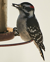 Downy Woodpecker (Dryobates pubescens). Image taken with a Nikon D850 camera and 500 mm f/4 VR lens.
