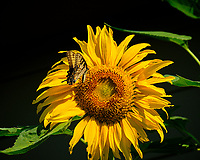 Tiger Swallowtail on a Sunflower Image taken with a Fuji X-T2 camera and 100-400 mm OIS lens