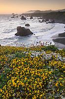 Wildflowers on bluff edge at twilight, Sonoma Coast State Park, California