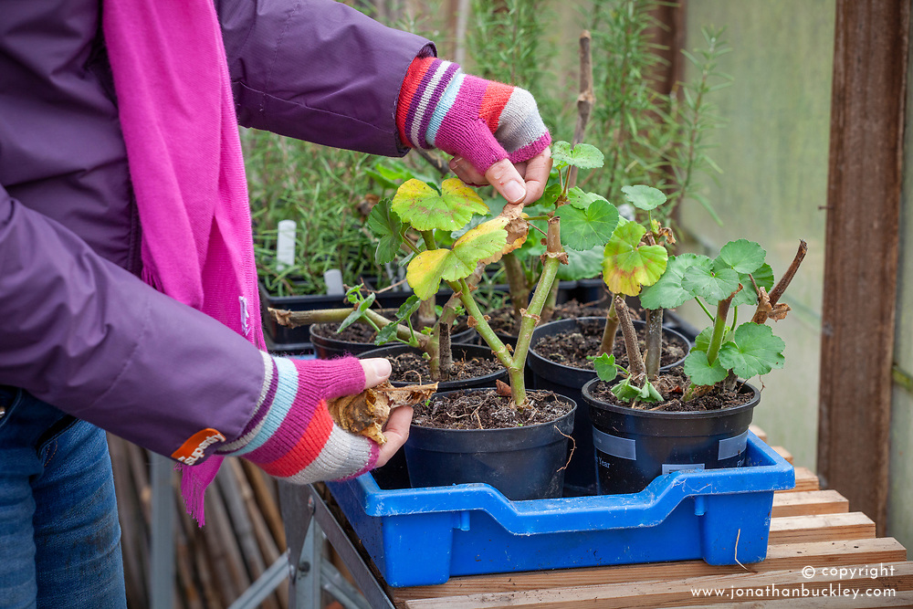 Removing scrappy leaves from a pelargonium before overwintering in the greenhouse