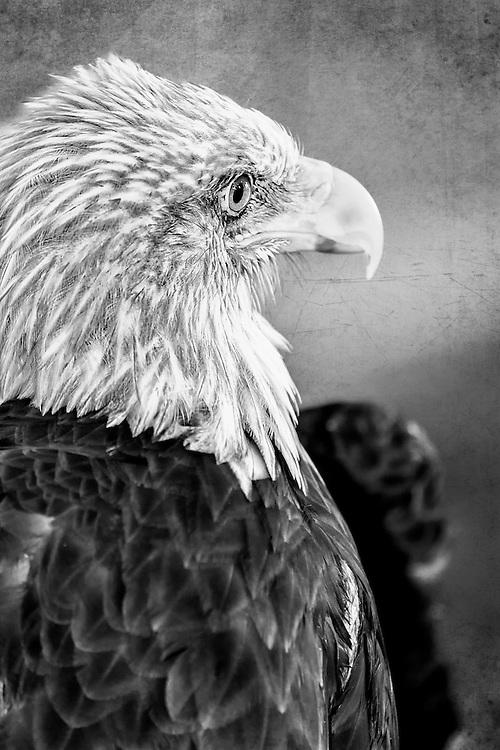 A Black and White Bald Eagle Side Profile Head Shot