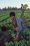Young couple harvest lettuce from neatly kept garden in Vientiane, Laos