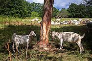 Europa, Deutschland, Nordrhein-Westfalen, Troisdorf, Ziegen zur Landschaftspflege in der Wahner Heide. - <br /> <br /> Europe, Germany, Troisdorf, North Rhine-Westphalia, goats in the Wahner Heath.