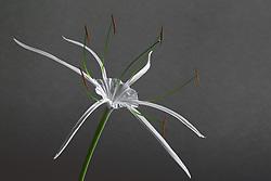 Hymenocallis-Beach Spider Lily#3