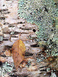 Leaf on Birch Tree with Lichens, Witherle Woods, Castine, Maine, US